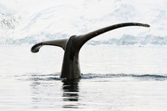 Humpback whale  in Antarctic waters. Humpback whale tail showing during the dives in Antarctic waters Royalty Free Stock Photos