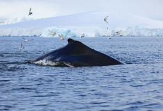 Humpback whale, Antarctica Royalty Free Stock Photo