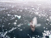 Humpback whale in Antarctica Royalty Free Stock Images
