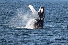 Humpback whale in Atlantic Ocean Royalty Free Stock Photography