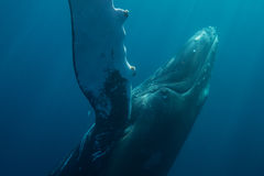 Humpback Whale in Atlantic. A Humpback whale rolls over while underwater in the Atlantic Ocean. Humpbacks are known for their singing abilities as well as their Stock Photography
