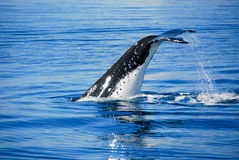 Humpback Whale in Australia. Humpback Whale in Hervey bay, Queensland, Australia stock photography