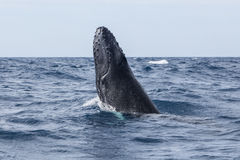 Humpback Whale Beginning to Breach Royalty Free Stock Images