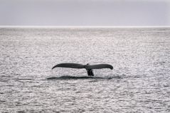 Humpback Whale Tail in Alaska Royalty Free Stock Images