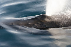 Humpback Whale Blow Hole - Greenland royalty free stock photos