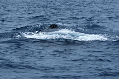 Humpback whale blow hole royalty free stock photos