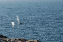 Humpback whale blow from two surfacing whales royalty free stock photo