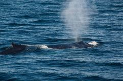 Humpback whale blowing. Off the coast of Maine a humpback whale blowing stock image