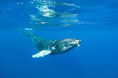 Humpback Whale in Blue Water. A young Humpback whale, Megaptera novaeangliae, swims in the clear blue waters of the Caribbean. Atlantic Humpbacks spend their royalty free stock photography