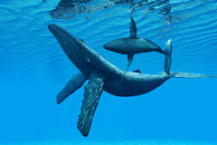 Humpback Whale Bonding. A Humpback Whale calf swims around its mother in a graceful ocean dance Stock Images
