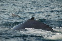 Humpback whale and bottlenose dolphin Royalty Free Stock Photography