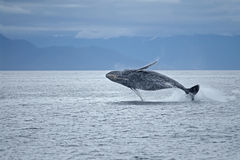 Humpback whale breach. Humback whale breaching in Frederick Sound, SW Alaska stock photos