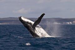 Humpback whale breach. A Humpback whale breach in the hervey bay Australia royalty free stock images
