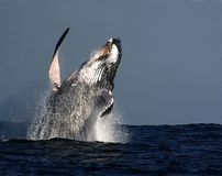 Humpback whale breach Royalty Free Stock Image