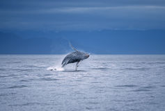Humpback whale breach. Ing,Frederick Sound SW Alaska Royalty Free Stock Images