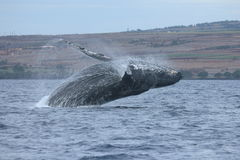 Humpback whale breach Stock Images