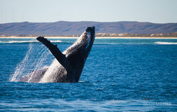 Humpback whale breach. Marine life, Humpback whale breach of joy Royalty Free Stock Photo