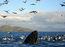 Humpback whale breaches Stock Photos