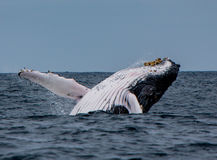 Humpback Whale Breaches. Off the coast of Puerto Lopez, Ecuador royalty free stock photos