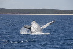 Humpback Whale Breaching. Off Coast of Fraser Island, Hervey Bay, Australia stock images