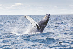 Humpback whale breaching Stock Image