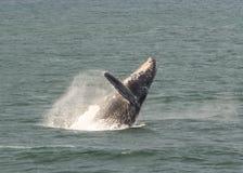 Humpback Whale breaching. From Alaskan ocean royalty free stock photo