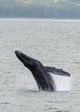 Humpback Whale breaching Royalty Free Stock Image