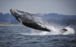 Humpback Whale Breaching Royalty Free Stock Images