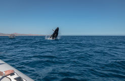Humpback Whale breaching. A Humpback whale breaches off the coast from Cabo San Lucas , Mexico Royalty Free Stock Image
