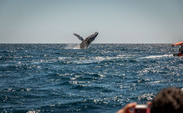 Humpback Whale breaching. A Humpback whale breaches off the coast from Cabo San Lucas , Mexico royalty free stock photo