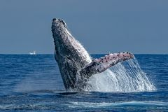 Humpback whale breaching in cabo san lucas. Humpback whale breaching on pacific ocean background in cabo san lucas mexico royalty free stock photography