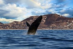 Humpback whale breaching in cabo san lucas mexico royalty free stock images