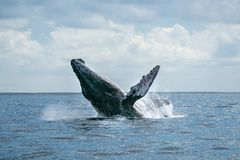 Humpback whale breaching in cabo san lucas. Humpback whale breaching on pacific ocean background in cabo san lucas mexico royalty free stock photo