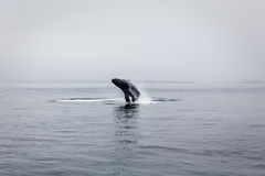 Humpback whale breaching in calm waters of Montere. Y Bay during migration off California coast royalty free stock image
