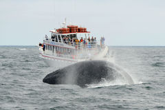 Humpback whale breaching, Cape Cod, Massachusetts Royalty Free Stock Photos