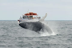 Humpback whale breaching, Cape Cod, Massachusetts Stock Photo