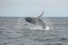 Humpback whale breaching, Cape Cod, Massachusetts Royalty Free Stock Photography