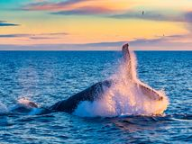 Humpback Whale breaching in deep blue sea at Iceland. In the morning stock photo