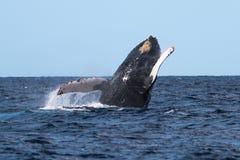 Humpback whale breaching near Lahaina. In Hawaii, Maui, Lahaina, Winter royalty free stock photo