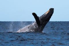 Humpback whale breaching near Lahaina. In Hawaii, Maui, Lahaina, Winter royalty free stock photos