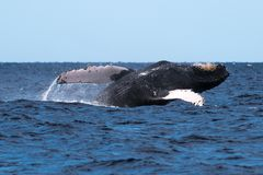 Humpback whale breaching near Lahaina in Hawaii. Maui, Lahaina, Winter stock image