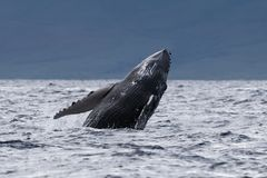 Humpback whale breaching near Lahaina in Hawaii. Hawaii, Maui, Lahaina, Winter royalty free stock photo