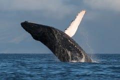 Humpback whale breaching near Lahaina in Hawaii. Hawaii, Maui, Lahaina, Winter royalty free stock image