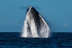 Humpback whale breaching near Lahaina in Hawaii. Hawaii, Maui, Lahaina, Winter royalty free stock images