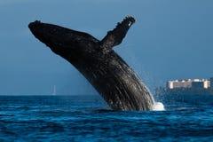 Humpback whale breaching near Lahaina in Hawaii. Hawaii, Maui, Lahaina, Winter stock images