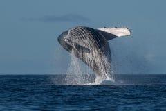 Humpback whale breaching near Lahaina in Hawaii. Hawaii, Maui, Lahaina, Winter royalty free stock photos