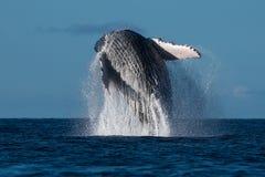Humpback whale breaching near Lahaina in Hawaii. Hawaii, Maui, Lahaina, Winter stock image