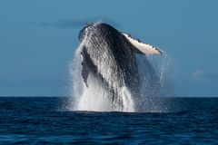 Humpback whale breaching near Lahaina in Hawaii. Hawaii, Maui, Lahaina, Winter stock photos