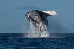 Humpback whale breaching near Lahaina in Hawaii. Hawaii, Maui, Lahaina, Winter royalty free stock photography