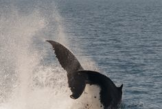 Humpback Whale breaching whilst displaying there skills. Humpback whale breaching at Hervey Bay, Queensland, Australia stock image